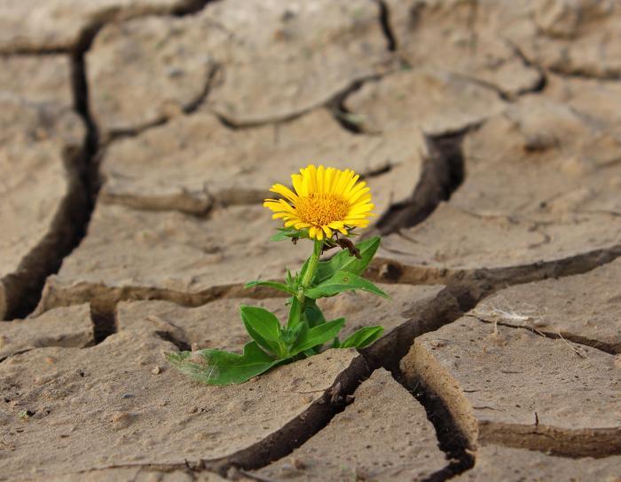 dandelion breaking through cracked soil